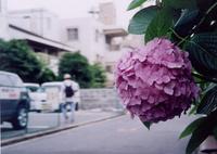 Ajisai_1